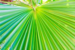 Palm tree leave radial nerves and lines. Royalty Free Stock Photography