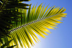 Palm Tree Leaver. Palm tree leaves against a bright blue sky royalty free stock photography