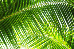 Free Palm Tree Leaves Stock Images - 11705514