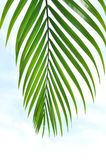 Palm tree leaves Stock Photography