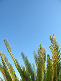 Palm Tree Leaves. Detail of palm tree leaves against bright blue sky Stock Photos