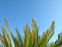 Palm tree leaves. Detail of palm tree leaves against bright blue sky Stock Photo