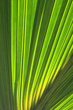 Palm tree leaves. Palm tree leafs for background Stock Photography