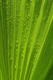 Palm tree leaves. Palm tree leafs with rain drops Stock Photography