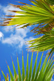 Palm tree leaves. Against blue summer sky Royalty Free Stock Images
