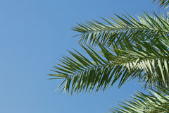Palm-tree leaves Royalty Free Stock Photos