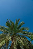 Palm-tree leaves Royalty Free Stock Images