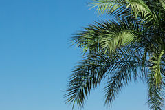 Palm-tree leaves Royalty Free Stock Image