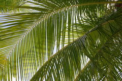 Palm tree leaves Stock Images