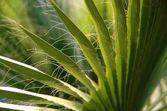 Palm tree leaves. Close up of palm tree leaves Stock Images