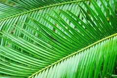 Palm tree leaves. A closeup shot of leaves from a palm tree Stock Image