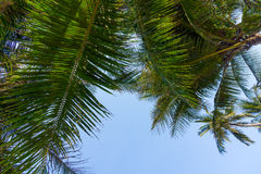 Palm tree leaves Royalty Free Stock Photo