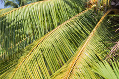 Palm Tree leaves Background Royalty Free Stock Photo