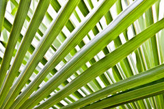 Palm tree leaves Stock Photo
