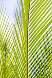 Palm tree leaves with blue sky. Close up of some palm tree leaves with blue sky royalty free stock photos