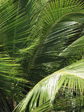 Palm tree leaves in Brazil. Salvador da Bahia Royalty Free Stock Images