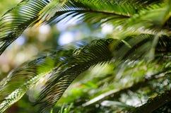 Palm tree leaves. Closeup stock photo