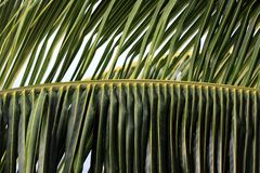 Palm tree leaves closeup background Royalty Free Stock Photo