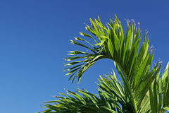 Palm Tree Leaves. A palm tree, cropped to show just two branches Stock Photo