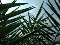 Palm tree leaves. Datepalm background bluesky royalty free stock image