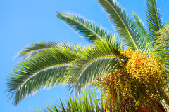 Palm tree leaves and dates over blue sky Stock Image