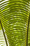Palm tree leaves detail. Exotic palm tree leaves detail abstract Stock Photo