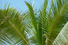 Palm Tree Leaves Detail With Blue Sky Royalty Free Stock Photo