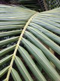 Palm Tree Leaves. Green Palm Leaves Royalty Free Stock Photography