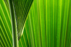 green and fresh palm tree leaves Stock Image