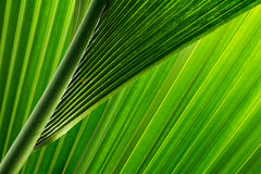 green and fresh palm tree leaves Stock Photography