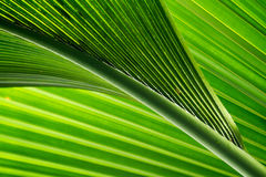 green and fresh palm tree leaves Stock Images