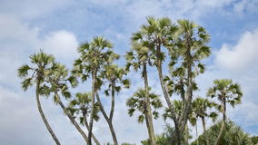 Palm tree leaves moving in air, time lapse movie stock video footage