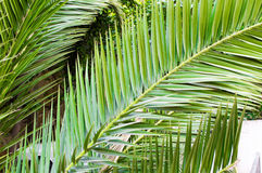 Palm Tree Leaves in Perspective Stock Image