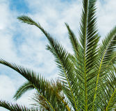 Palm Tree Leaves in Perspective Royalty Free Stock Photography