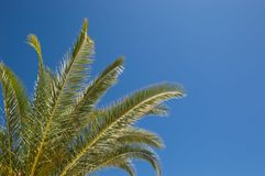 Palm Tree leaves standing tall against a blue sky Background. Tropical Palm Tree against a summers bright blue sky Background Royalty Free Stock Photography