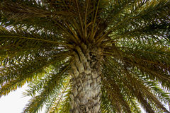 A palm tree and it leaves while stay under the tree and look up to the top and the leaves. Royalty Free Stock Photo