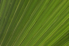 Palm tree leaves texture Royalty Free Stock Image