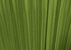 Palm tree leaves texture Royalty Free Stock Photo