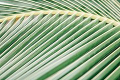 Palm tree leaves, tropical weather, Thailand. Macro shot sheet coconut palms Royalty Free Stock Photography