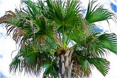 Palm Tree Leaves and Trunks. On Cloudy Sky Royalty Free Stock Photos