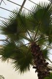 Palm Tree in the Leuven Kruidtuin Royalty Free Stock Photos