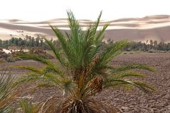 Palm tree, Libya Royalty Free Stock Photography