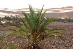 Palm tree, Libya Royalty Free Stock Photography