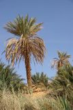 Palm tree, Libya Stock Photography