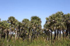 Palm tree line view Royalty Free Stock Photography