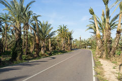 Palm tree lined road. Leading through a plantation Royalty Free Stock Image