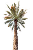 Palm tree with a long barrel. bottom up view. Stock Images