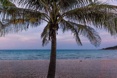 Palm tree with long branches in the evening light Royalty Free Stock Images