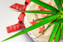 Palm tree with long green leaves in a white wicker pot with a red bow Royalty Free Stock Photos