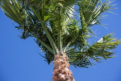 Palm Tree-Look Up. View looking up at a palm tree against a clear blue sky royalty free stock image